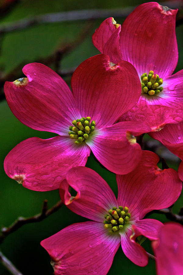 Red Dogwood No 2 Photograph