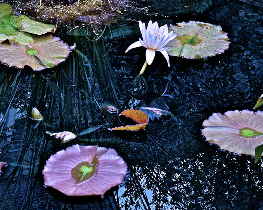 2019 August at the Gardens White Waterlily  by Janis Nussbaum Senungetuk