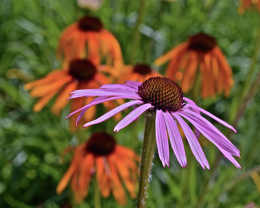 2019 June At the Gardens Coneflowers by Janis Nussbaum Senungetuk