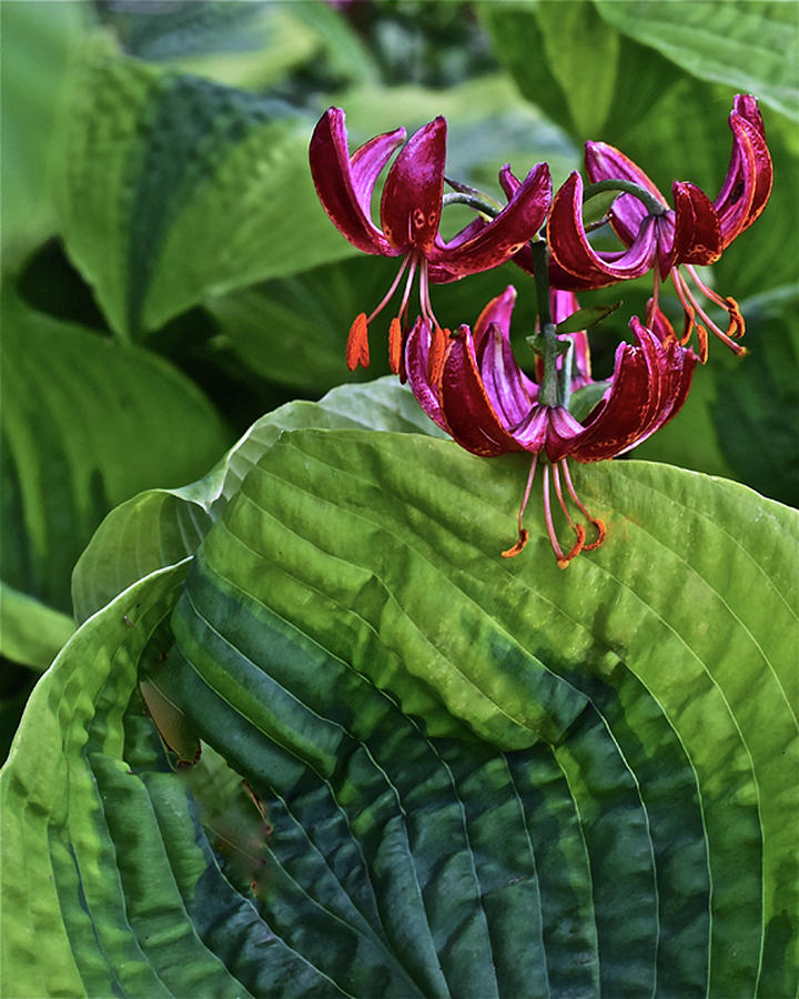 2019 June At the Gardens Lily and Hosta by Janis Nussbaum Senungetuk