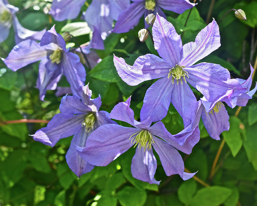 2019 June At the Gardens Prince Charles Clematis by Janis Nussbaum Senungetuk