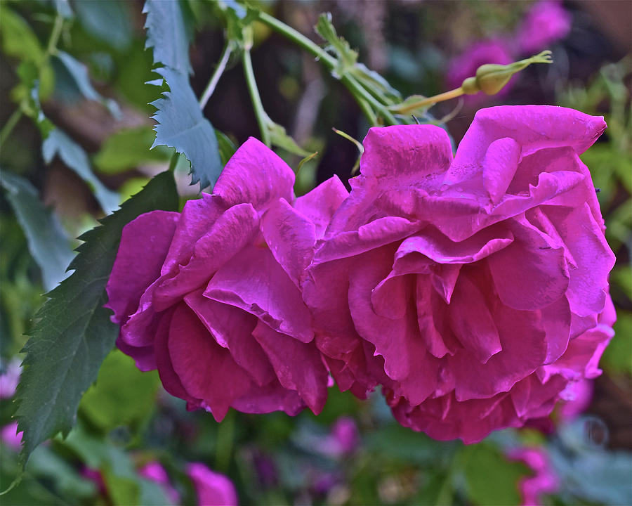 2019 June At the Gardens Shrub Roses by Janis Nussbaum Senungetuk