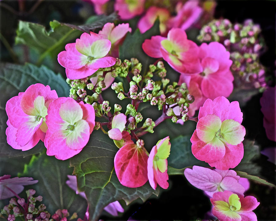 2019 June At the Gardens Tuff Stuff Hydrangea by Janis Nussbaum Senungetuk