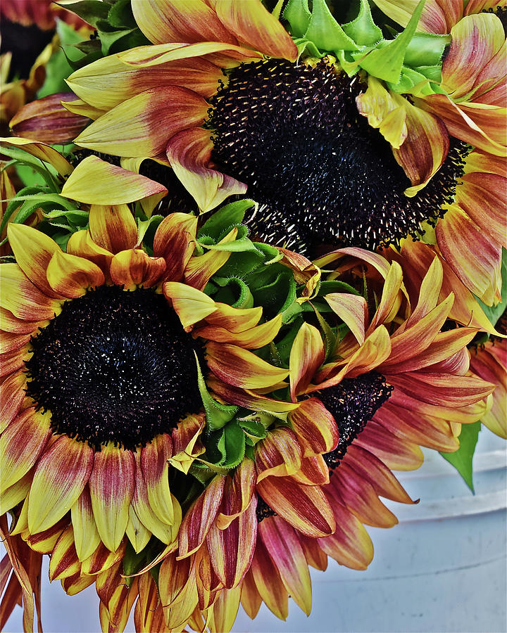 2019 Monona Farmers' Market July Sunflowers 3 by Janis Nussbaum Senungetuk
