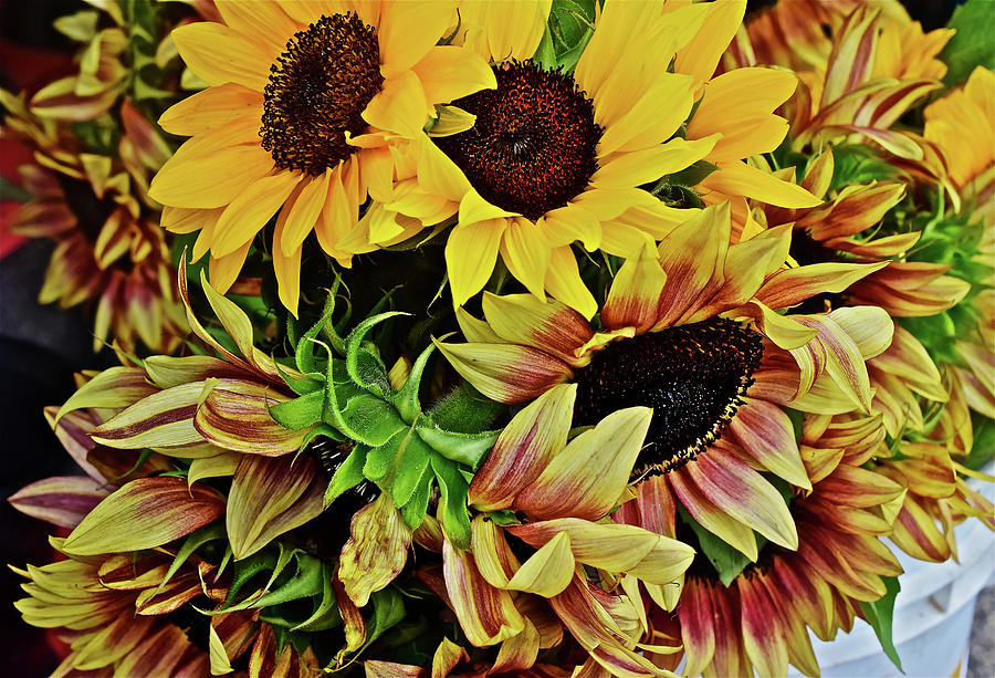 2019 Monona Farmers' Market July Sunflowers 4 by Janis Nussbaum Senungetuk