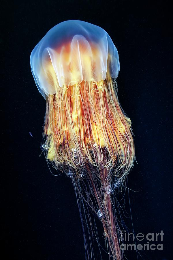 Cyanea Capillata Photograph - Lions Mane Jellyfish 23 by Alexander Semenov/science Photo Library