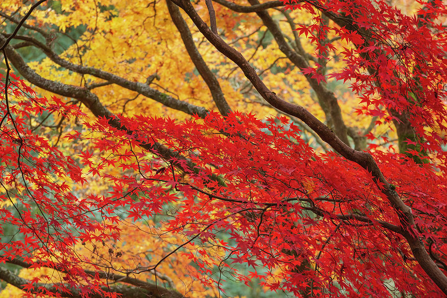 Autumn Photograph - Beautiful Colorful Vibrant Red And Yellow Japanese Maple Trees I by Matthew Gibson