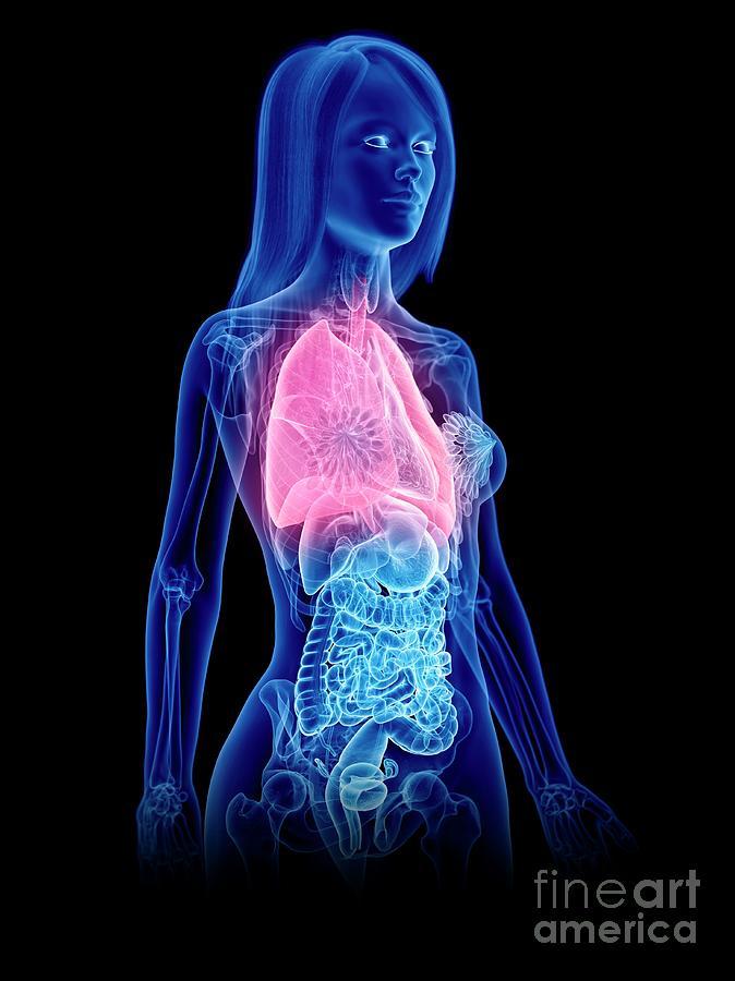 3d Photograph - Lungs by Sebastian Kaulitzki/science Photo Library