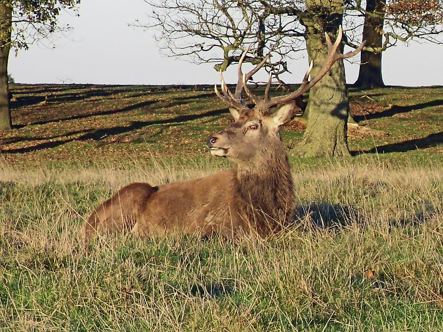 28/11/18  TATTON PARK. Stag in The Park. by Lachlan Main