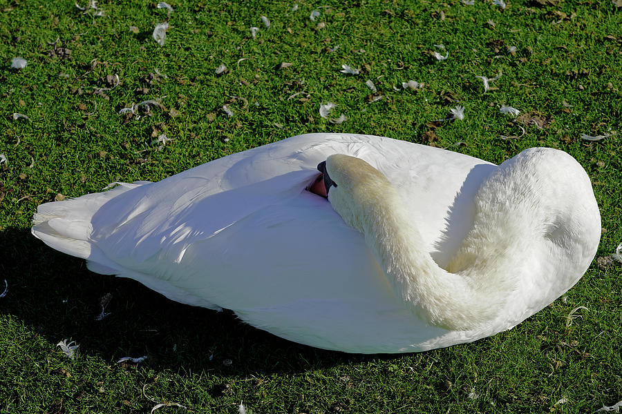 The Sleeping Swans >> A Sleeping Swan At The Nymphenburg Palace In Munich Germany