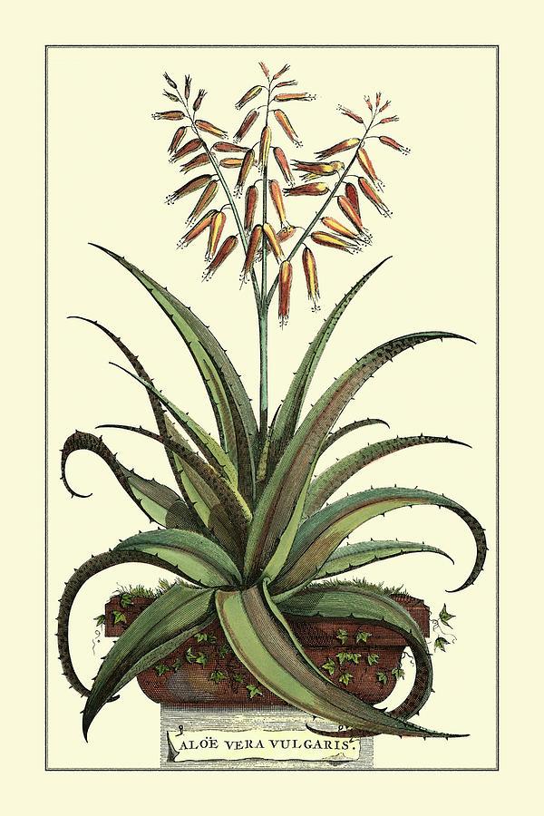 Botanical Painting - Antique Munting Aloe IIi by Abraham Munting
