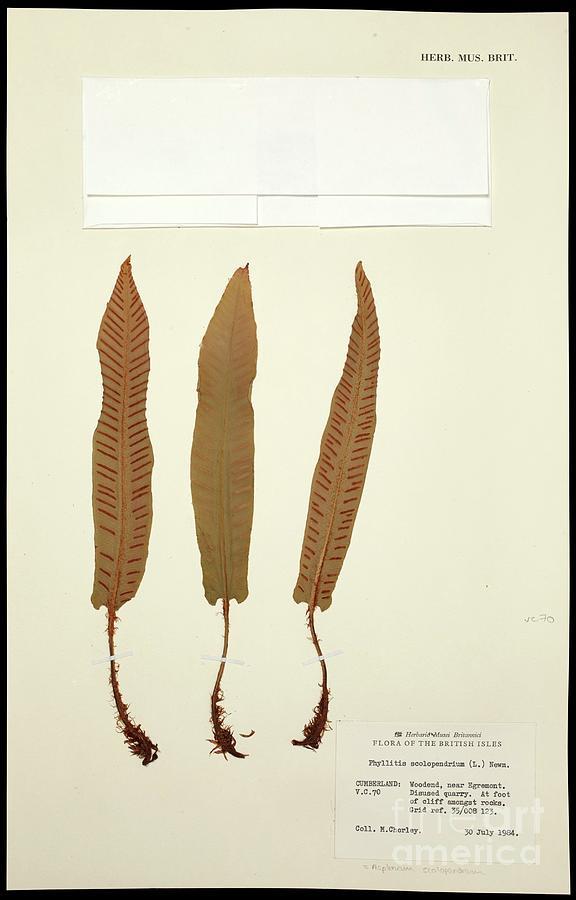 Monilophytes Photograph - Asplenium Scolopendrium Fern Specimen by Natural History Museum, London/science Photo Library