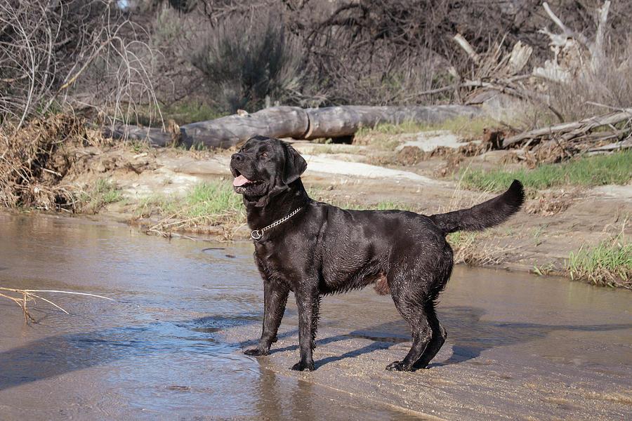 Action Photograph - Black Labrador Retriever Standing by Zandria Muench Beraldo