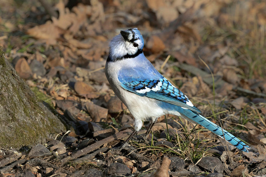 Animal Photograph - Blue Jay Cyanocitta Cristata by Ivan Kuzmin