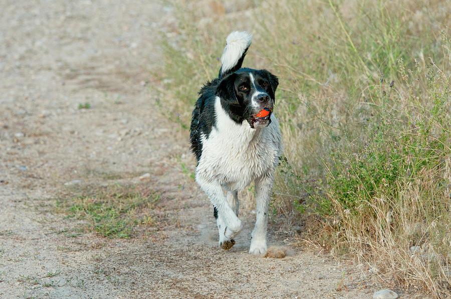 Black And White Dog Photograph - Borador Border Collielabrador Retriever by William Mullins