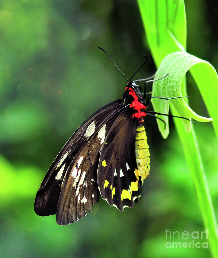Birdwing Butterfly by Elaine Manley