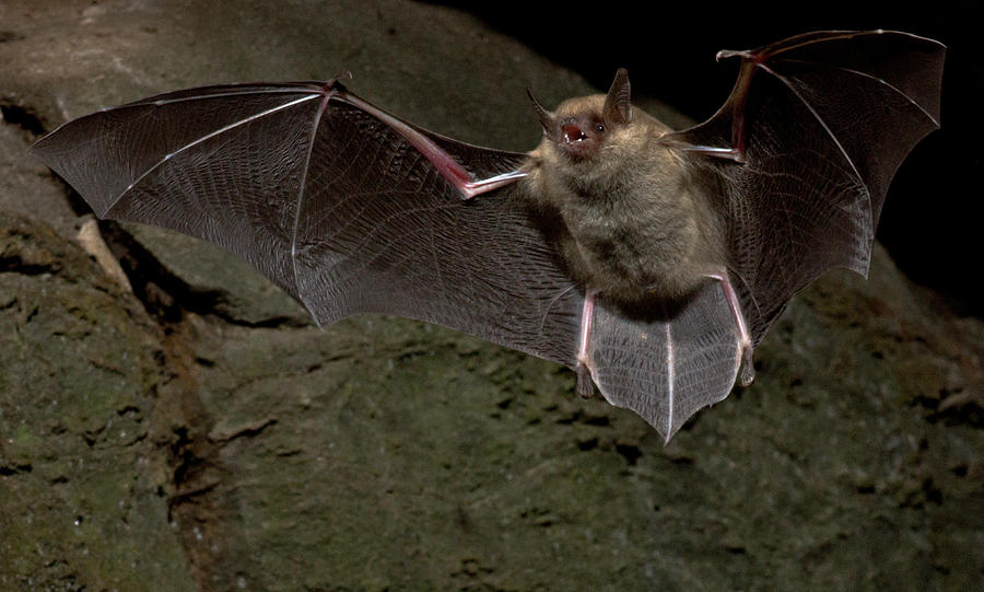 Cave Myotis Bat Myotis Velifer by DANTE FENOLIO