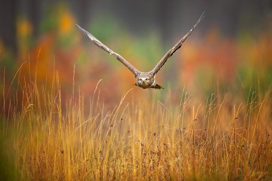 Buzzard Photograph - Common Buzzard by Milan Zygmunt