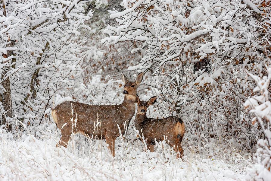 Deer Photograph - Doe Mule Deer in Snow by Steven Krull