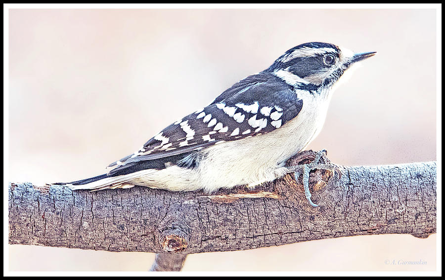 Downy Woodpecker Female by A Gurmankin