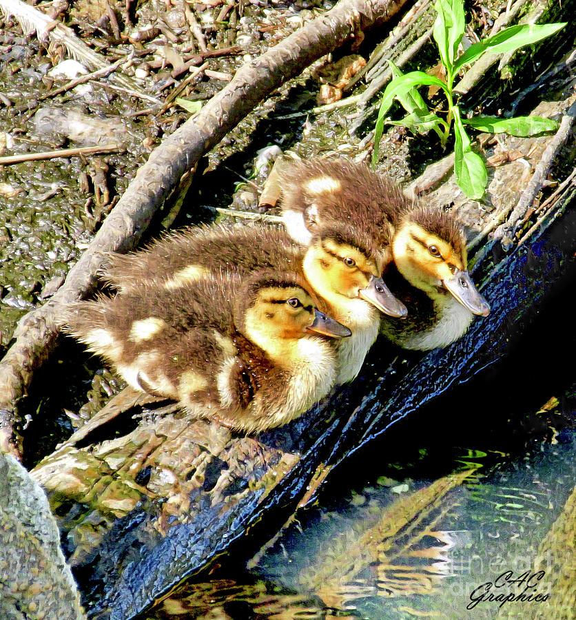 3 Ducklings by CAC Graphics