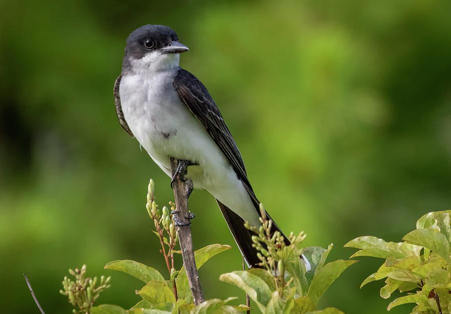Eastern Kingbird  by Ricky L Jones