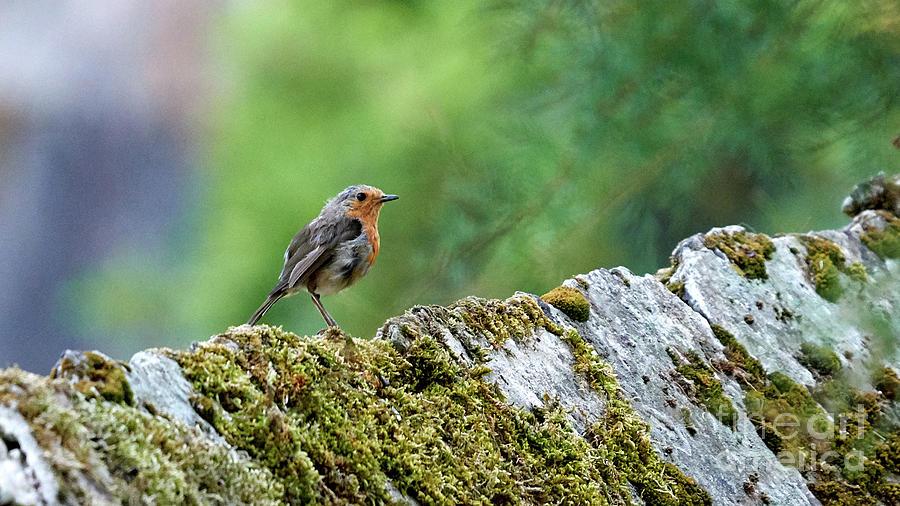 European Robin Erithacus Rubecula by Pablo Avanzini