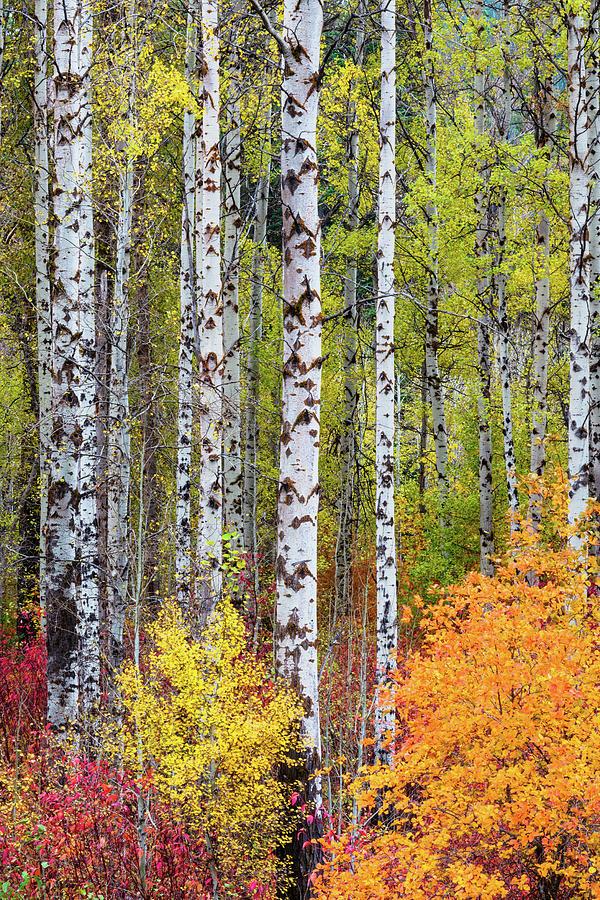 Fall Birchwood by Michael Lee