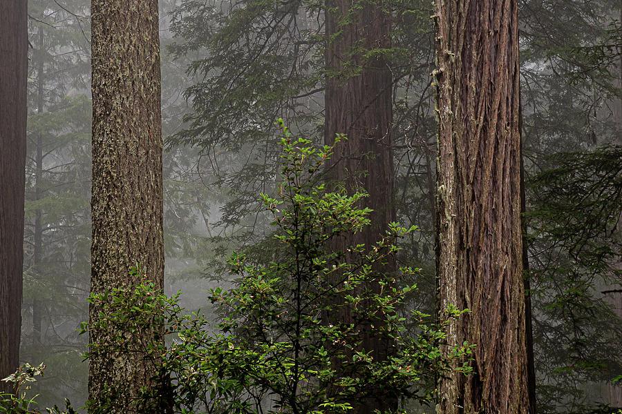 3 Fern Grove Fog, N. California by Phyllis Spoor