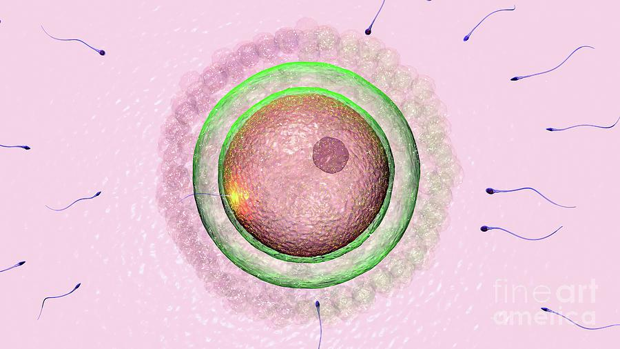Illustration Photograph - Fertilization 3 by Russell Kightley/science Photo Library
