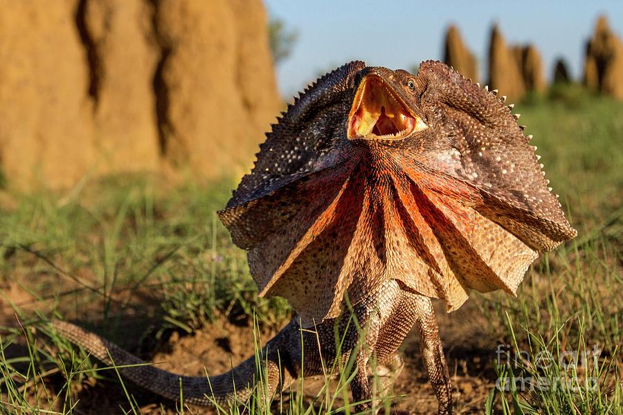 Frill-neck Lizard Displaying Photograph by Paul Williams ...