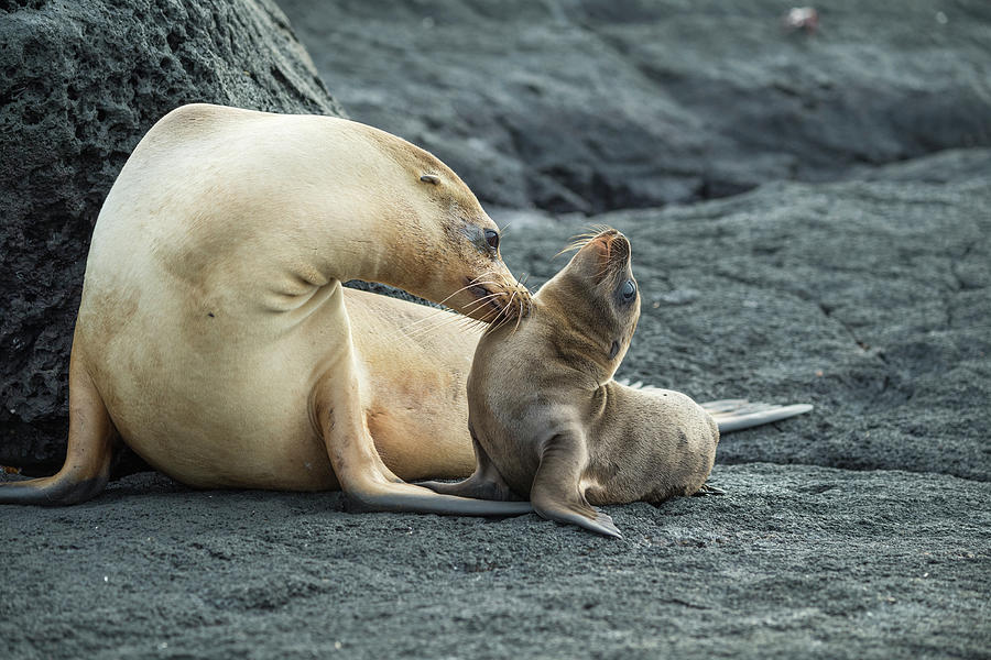 Galapagos Sea Lion Nuzzling Pup Photograph by Tui De Roy