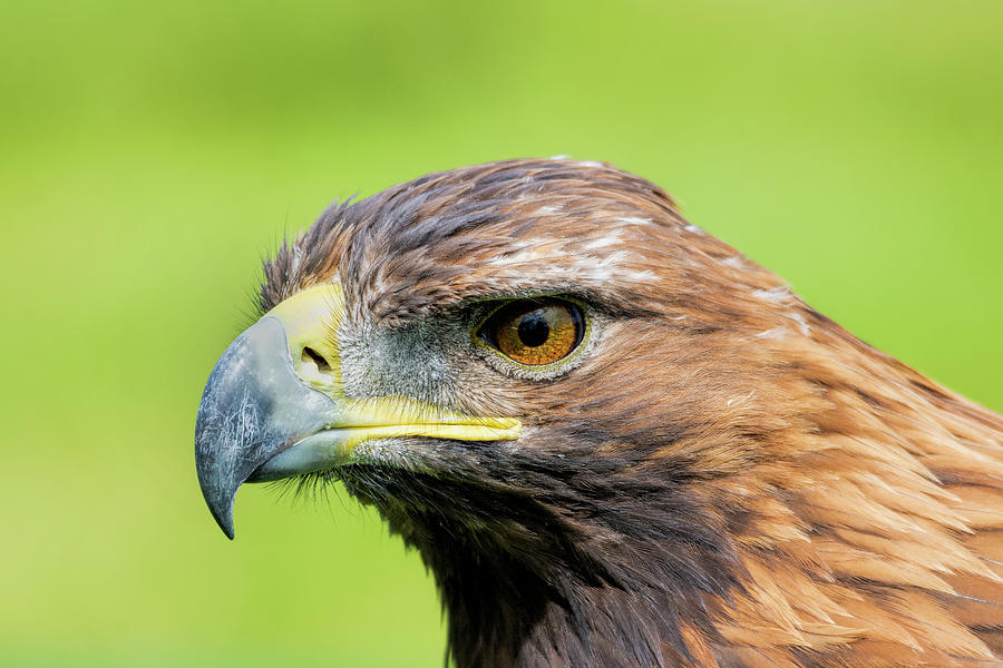 Eagle Photograph - Golden Eagle  by Steev Stamford