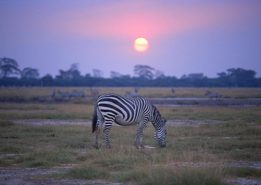 Grant Zebra Photograph by Imagenavi