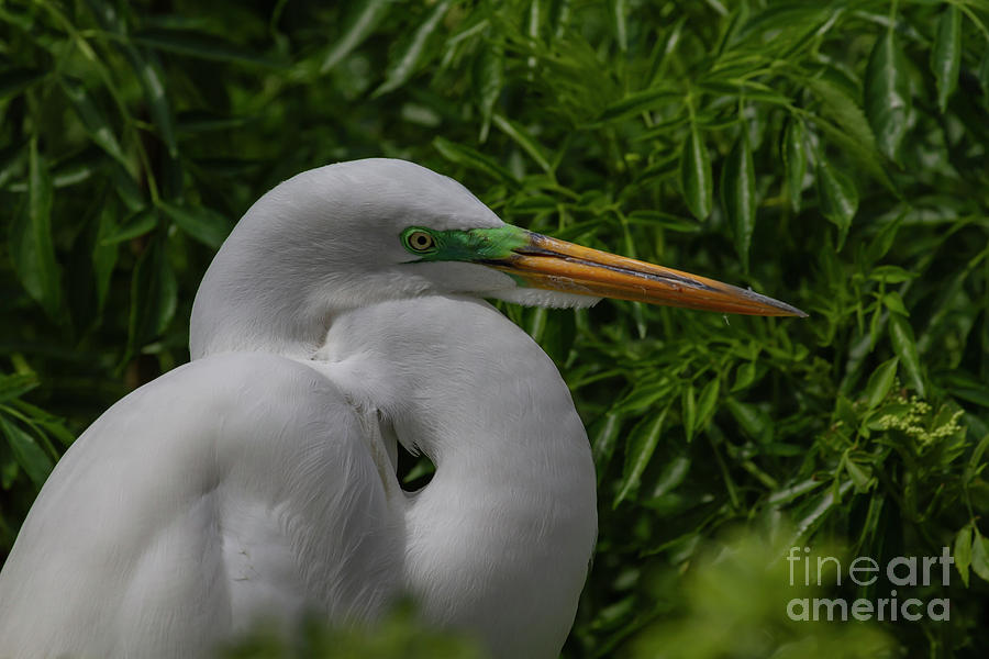 Egret Photograph - Great Egret by Blair Howell