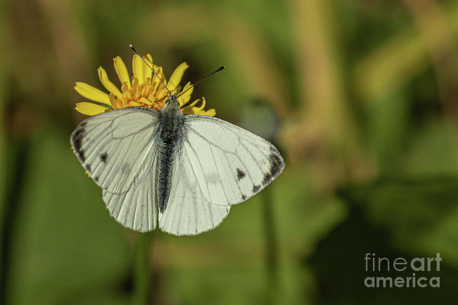 Green Veined White Photograph
