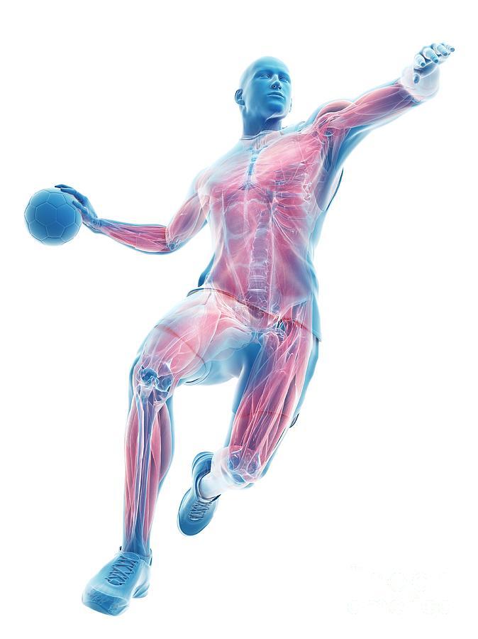 3d Photograph - Handball Players Muscles by Sebastian Kaulitzki/science Photo Library