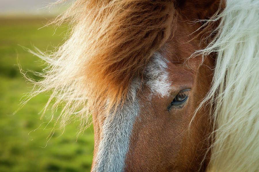 Iceland Photograph - Icelandic Horse by Peter OReilly