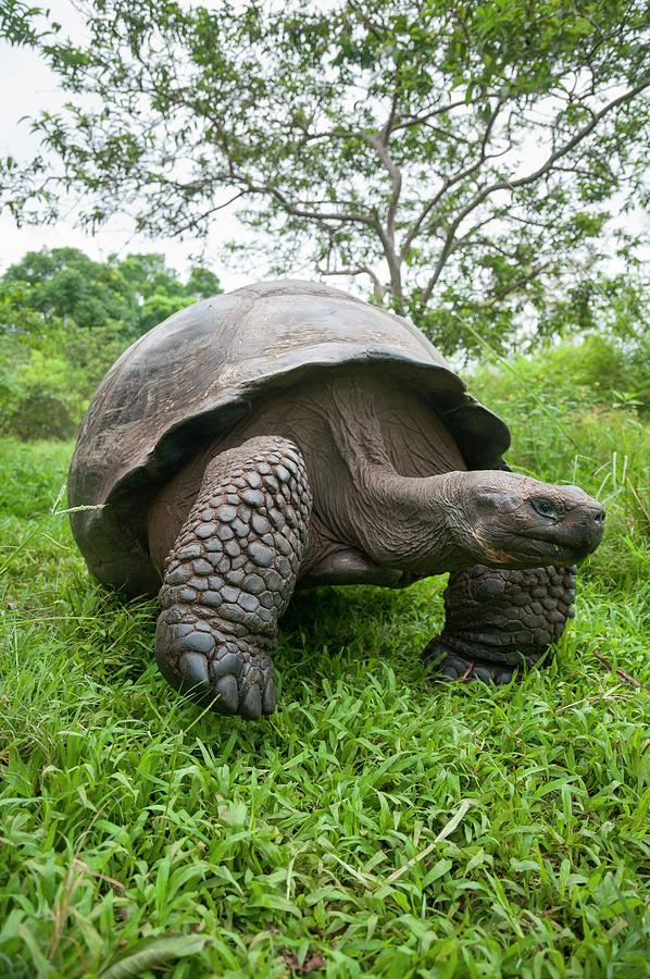 Indefatigable Island Tortoise Photograph by Tui De Roy