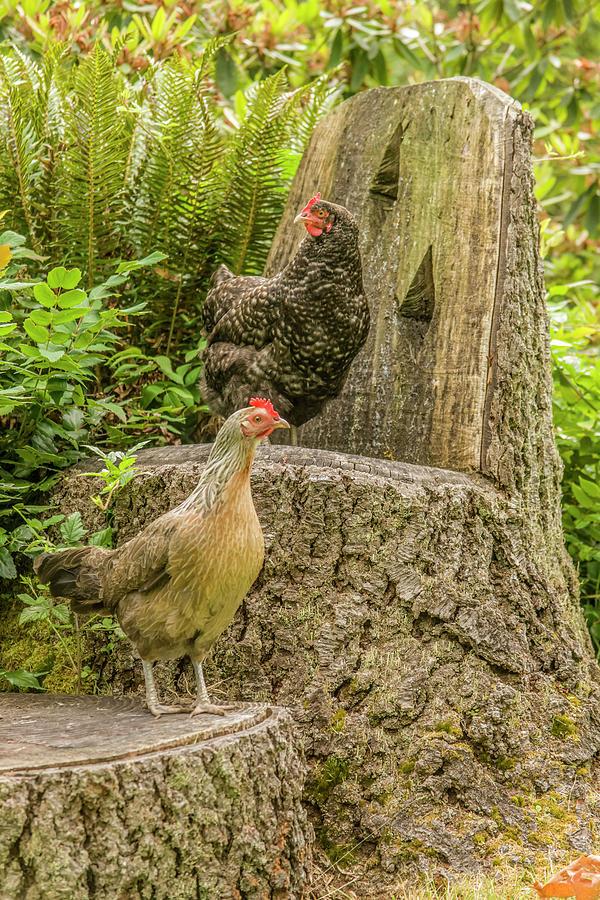 Domestic Animal Photograph - Issaquah, Wa Free-range Buff Brahma Hen 3 by Janet Horton