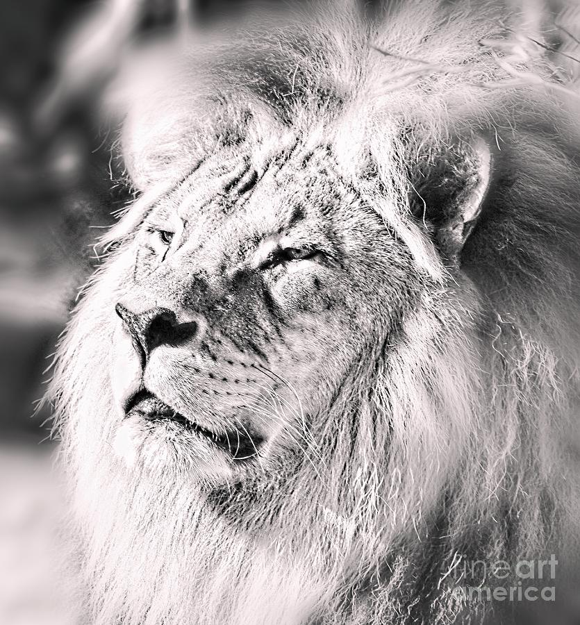 Lion by Graham Buffinton