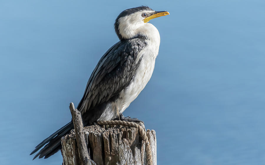 Little Pied Cormorant on post by Merrillie Redden