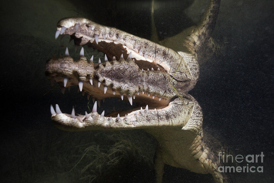 Crocodile Photograph - Morelets Crocodile Hunting At Night by Reinhard Dirscherl/science Photo Library