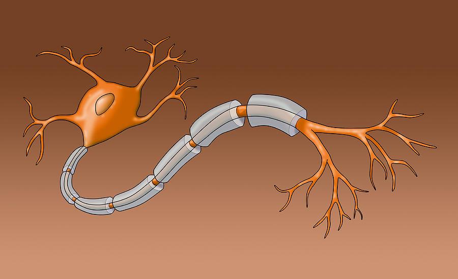 Anatomy Photograph - Neuron With Healthy Myelin Sheath by Monica Schroeder