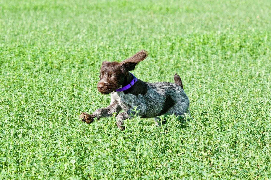 Dog Photograph - Nine-week-old Drahthaar Puppy Running by William Mullins