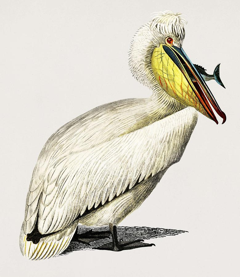 Pelican  Pelecanus  illustrated by Charles Dessalines D  Orbigny  1806 1876  by Celestial Images