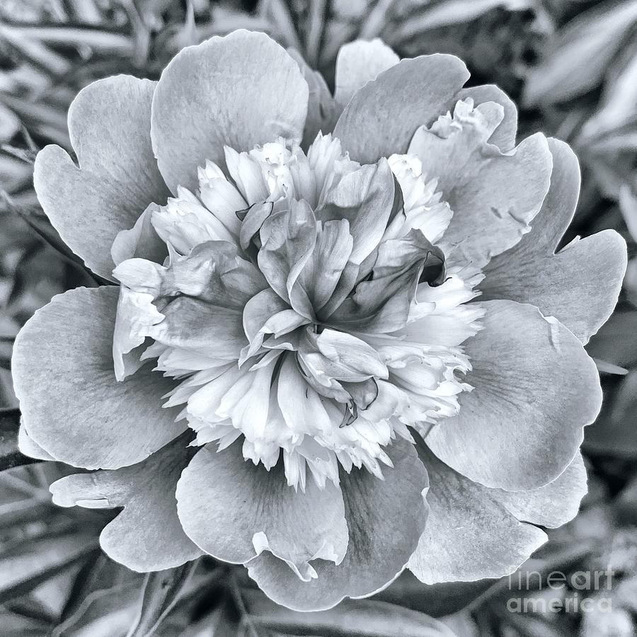 peony  by HD Connelly