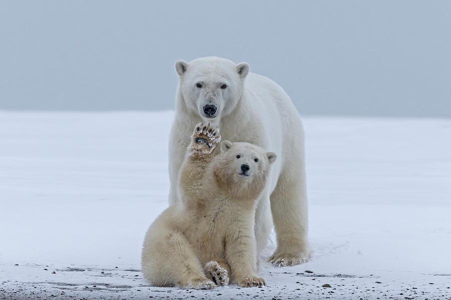 Polar Bear Photograph by Sylvain Cordier