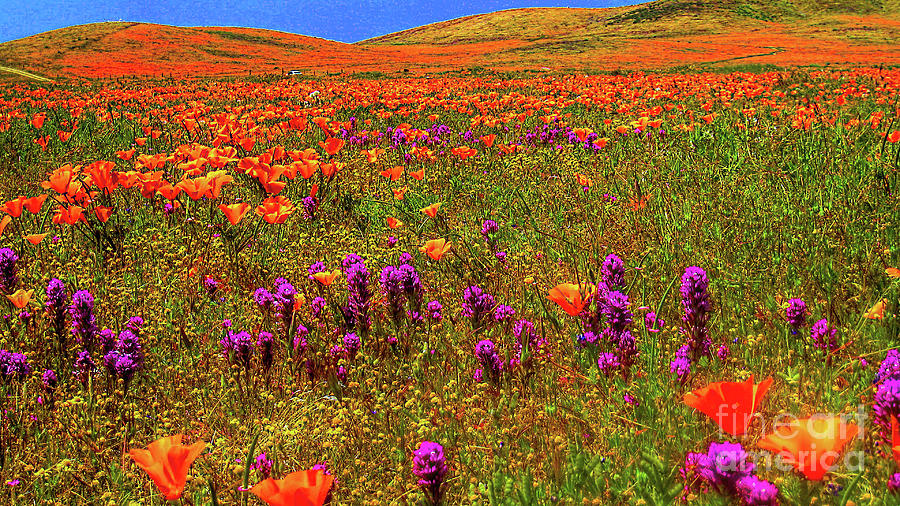 Poppies by Mark Jackson