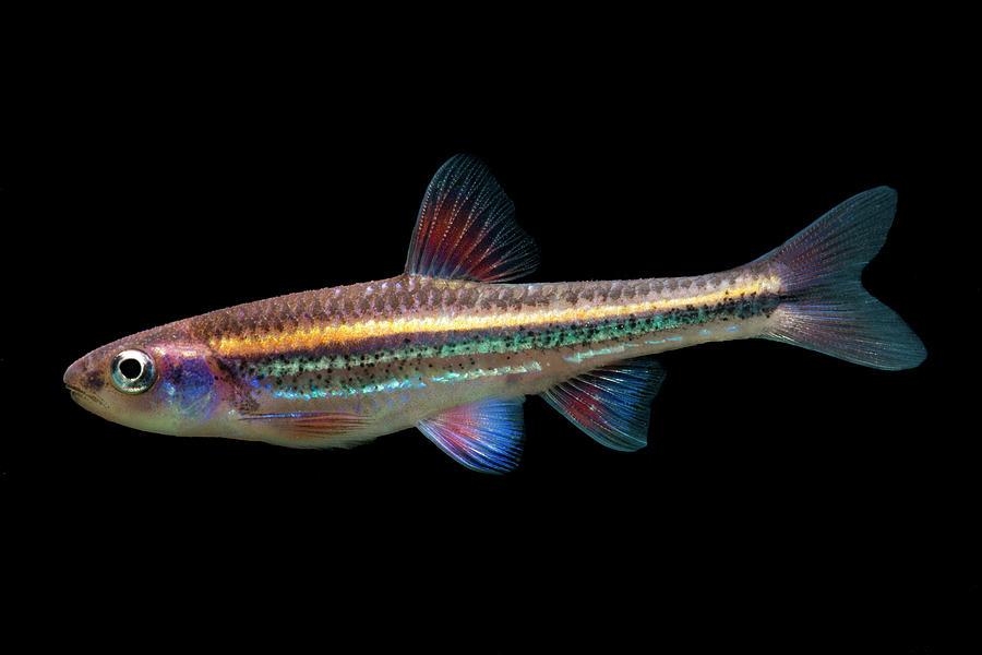 Rainbow Shiners Notropis Chrosomus by DANTE FENOLIO